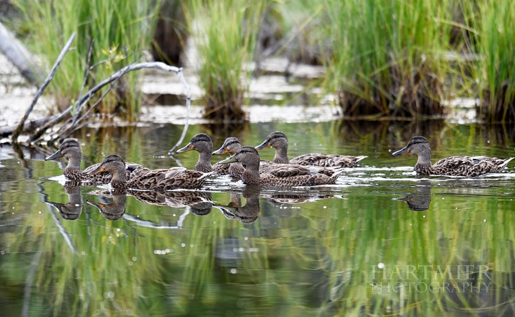 A Gaggle of Mallards