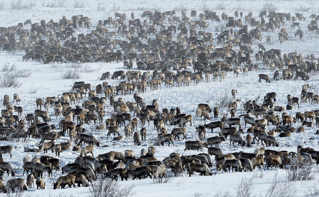 Reindeer Herd near the new Inuvik to Tuk Highway